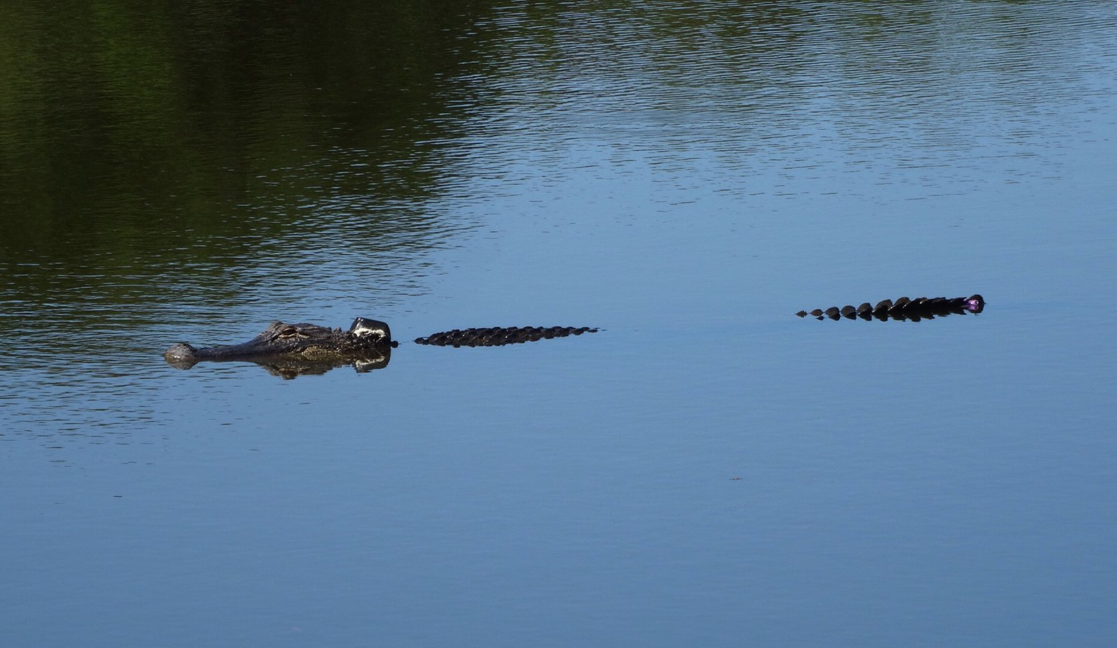 David Love's photo of tagged alligator in Sea Pines